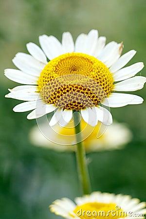 Chrysant met Geel Wit