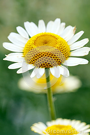 Chrysanthemum avec le blanc jaune