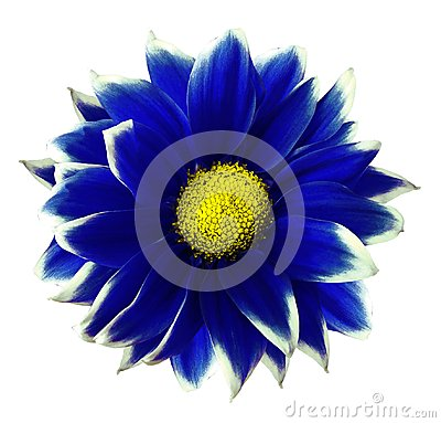 Free Chrysanthemum Blue. Flower On  Isolated  White Background With Clipping Path Without Shadows. Close-up. For Design. Stock Images - 113023394