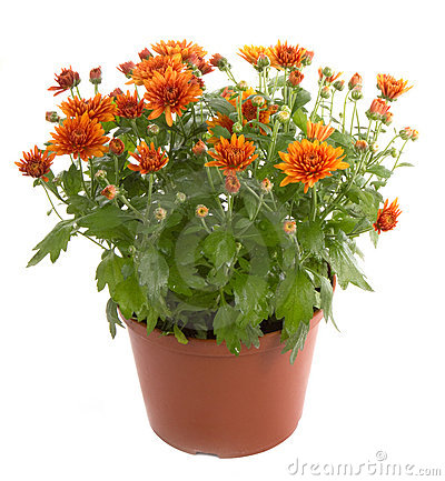 Free Chrysanthemum Flower Royalty Free Stock Photo - 16815995