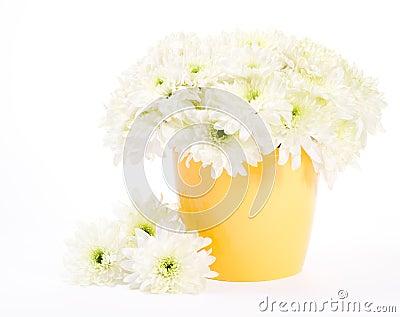 Chrysanthemum in flower pot over white background