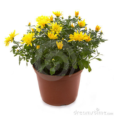 Chrysanthemum flower potted flowers