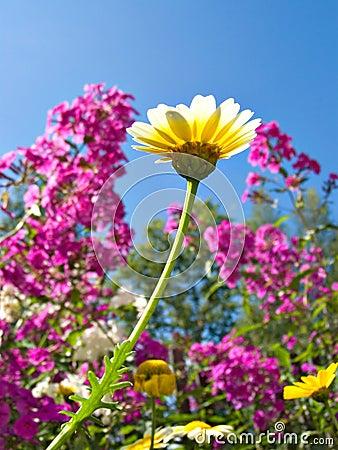 Chrysanthemum in garden