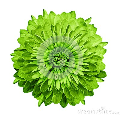 Free Chrysanthemum  Green. Flower On  Isolated  White Background With Clipping Path Without Shadows. Close-up. For Design. Stock Image - 112048951