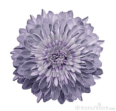 Free Chrysanthemum  Light Violet. Flower On  Isolated  White Background With Clipping Path Without Shadows. Close-up. For Design. Royalty Free Stock Image - 111690896
