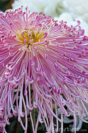 Chrysanthemum rose