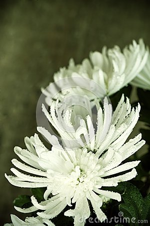 Chrysanthemum with water drops