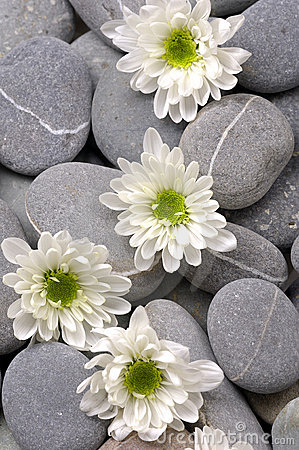 Chrysanthemums flower with zen stones