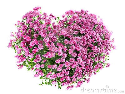 Chrysanthemums flowers in heart shape
