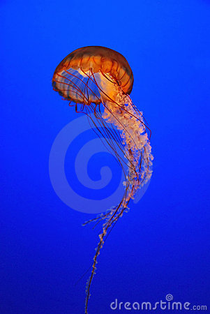 Chrysaora fuscescens jellyfish