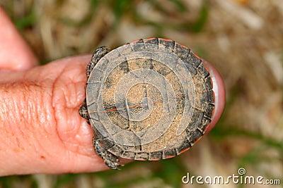 Chrysemys绘了picta乌龟