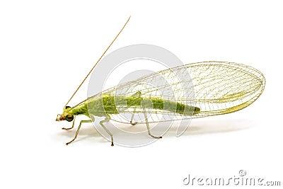 Chrysopidae-inseto Lacewing verde isolado