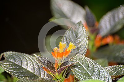 Chrysothemis Pulchella or Sunset Bells flowers in the garden