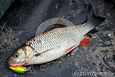 Chub caught on plastic lure