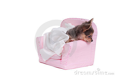 Chuhuahua in a bed with blanket ready to sleep