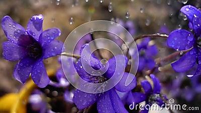 Chuva de mola em violetas, movimento lento filme