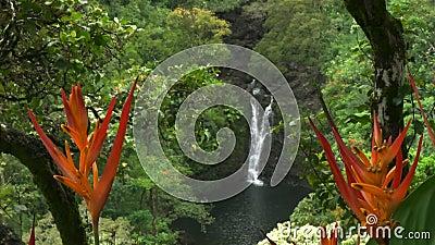Ciérrese para arriba de psittacorum del heliconia en caídas más bajas del puahokamoa en Maui almacen de metraje de vídeo