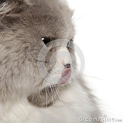 Ciérrese para arriba del gato británico de Shorthair, 6 meses