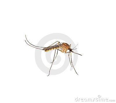 Ciérrese para arriba del moquito aislado