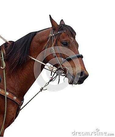Ciérrese para arriba del potro de un vaquero que muestra la tachuela
