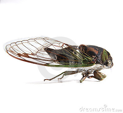 Free Cicada Royalty Free Stock Image - 1312886