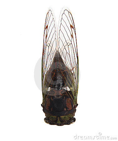 Free Cicada Stock Photo - 1312890