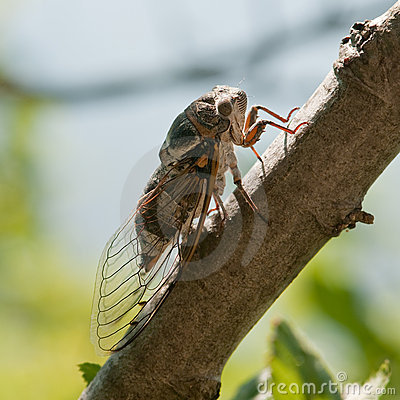 Free Cicada Royalty Free Stock Photos - 15890958
