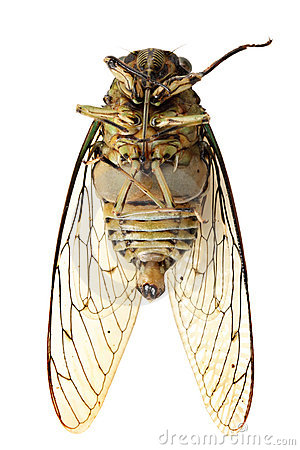 Free Cicada Royalty Free Stock Images - 20613999