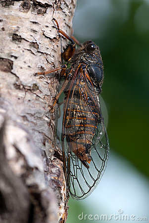 The cicada