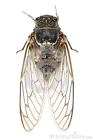 Free Cicada Stock Photography - 26492842