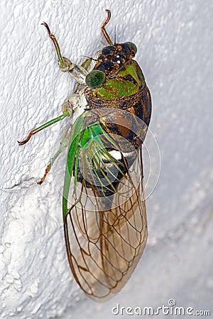 Free Cicada Stock Images - 32499304