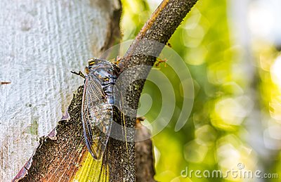 Cicada Bug. Cicada insect. Cicada stick on tree at the park of thailand Tremendous musical abilities of cicada. Stock Photo