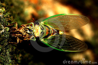 Cicada crawling out of its shell