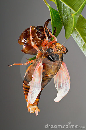 Cicada eclosion 4