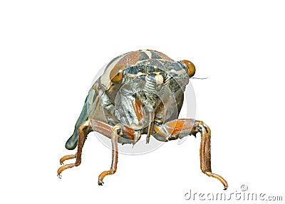 Cicada en face 7