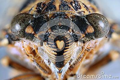 Cicada Head Close Up