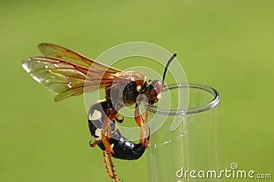 Cicada killer (Wasp)