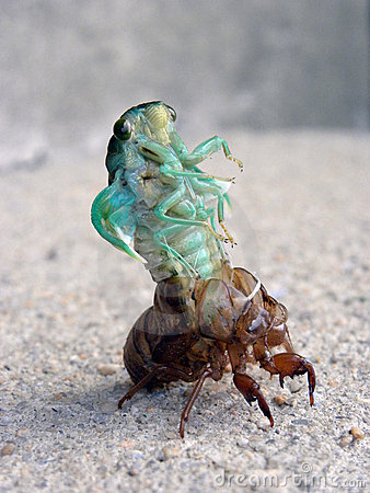 Free Cicada Locust Molting Closeup Royalty Free Stock Photos - 21155808