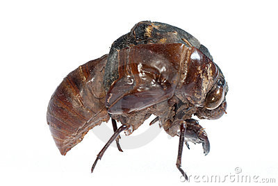 Cicada in molt
