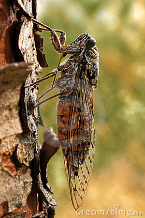 Free Cicada On A Pine Stock Photos - 1074483