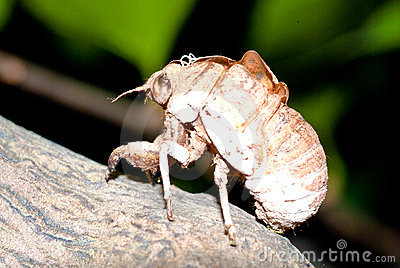 Cicada slough