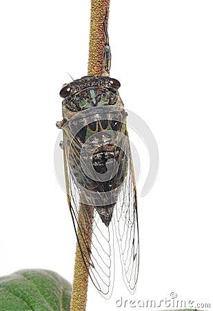 Cicada on a stick