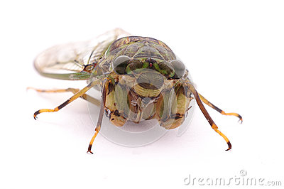 A cicada with white wings