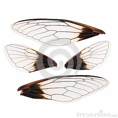 Free Cicada Wings Isolated Stock Photography - 26113872