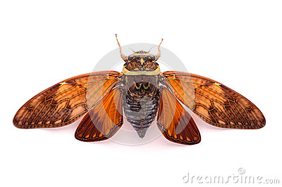 A cicadas back close-up