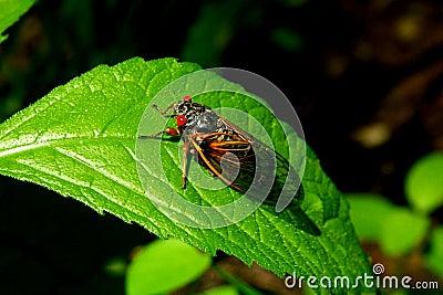 Cicaden B