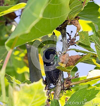 Cicala nascondentesi