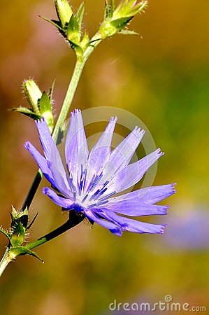 Free Cichorium Intybus. Beautiful Meadow Flower. Stock Images - 112232174