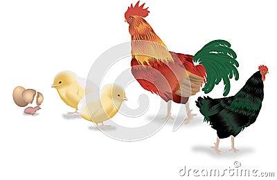 Ciclo vital del pollo