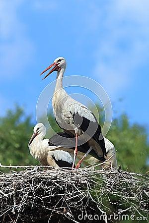 Free Ciconia Ciconia, Oriental White Stork. Stock Image - 22003821